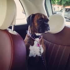boxer dog 2015 diary we let the dog decide 2015 mitsubishi mirage vs 2015 fiat 500