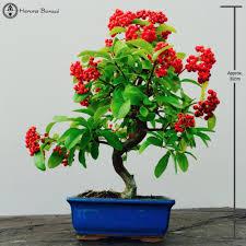 pyracantha bonsai tree herons bonsai
