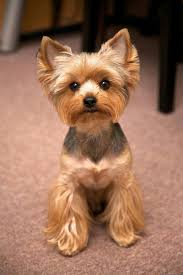 30 different dog grooming styles yorkies dog and yorkshire