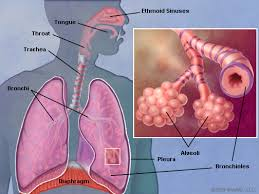 Anatomy And Physiology Of Lungs Human Anatomy The Lungs Human Anatomy Define Anatomy What Is
