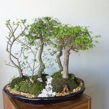 japanese elm bonsai forest 5 elm bonsai group panting
