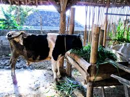 Backyard Dairy Cow There U0027s A Cow In My Backyard Shift Change Go