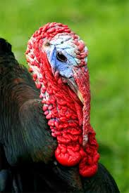 turkey up gisborne s online zoo turkey