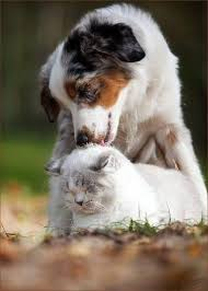 australian shepherd with cats 1000 images about cats u0026 dogs on pinterest