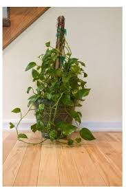 indoor vine plant great idea for your plant to grow up as a vine great indoor plant