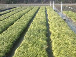 Nursery Plant Supplies by Dallas Wholesale Nursery Plants And Garden Supplies Home