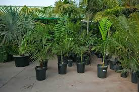 palm trees in the landscape design selection and growing