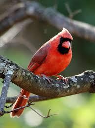 Indiana birds images Indiana state bird northern cardinal jpg