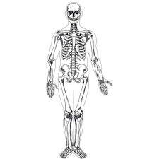 Cartoon Human Anatomy Human Skeleton Printable Realistic Anatomy Not Cartoon