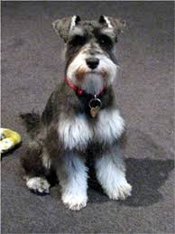 schnauzer hair cut step by step which dog hair clippers are best miniature schnauzer australia