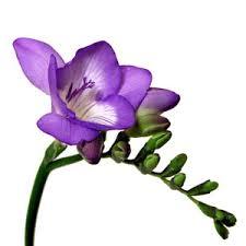 freesia flower purple freesia flower farm fresh exports