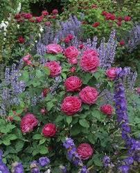 cottage garden roses flowers cottage garden mix pinterest