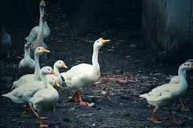free stock photos donald duck pexels