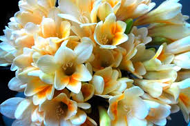 freesia flower fresh scents of planting freesias flower