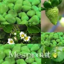 climbing strawberry plants for sale part 33 sale 500 pcs