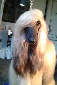 afghan hound breed the afghan hound is a hound that is one of the oldest dog breeds
