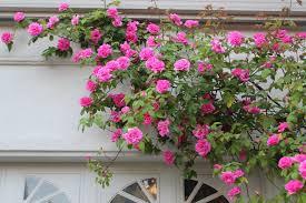 mastering horticulture vibrant pink u0027zephirine drouhin u0027
