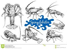 spiny lobster in sketch style stock vector image 95533190