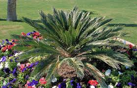 toxic plants the danger of sago palm in our landscapes acorn