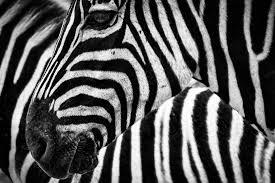 zebra photos pexels free stock photos