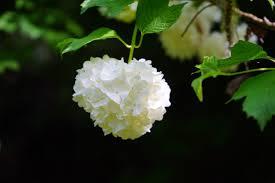 free images branch blossom white leaf flower petal bush