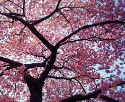 19 best starship cherry blossom afternoon images on