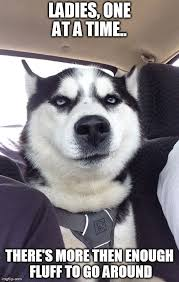 Siberian Husky Meme - husky meme knows there s lots of fluff and dog hair too dogs