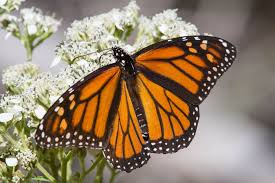 austin texas creates habitat for the declining monarch butterfly