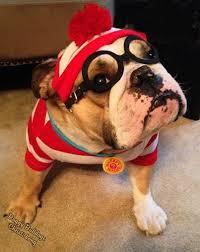 French Bulldog Costumes Halloween 25 Bulldog Costume Ideas Bull Dog Baby