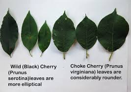 best 25 chokecherry tree ideas on identification des
