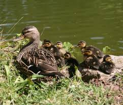 file mallards ducklings with mother jpg wikimedia commons