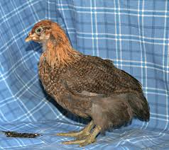 buy easter egger chickens started easter egger pullets purely poultry