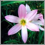 Rain Lily Buy Rain Lily Bulbs For Sale At The Lowest Prices At Ty Ty Nursery