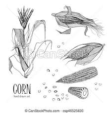 vectors of set of corn plant contour black and white hand drawn