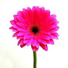 pink flower pink flower 480x478 hd wall