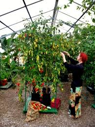 Green Chilli Plant Diseases - growing chillies grow your own chillies