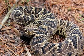 florida diamondback rattlesnake pictures to pin on pinterest