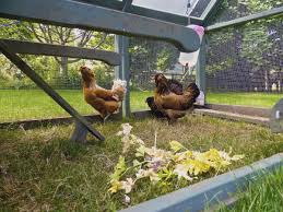 uw extension holds a backyard chicken raising class local