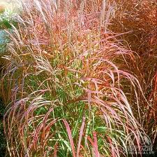 plant profile for miscanthus purpurascens grass perennial