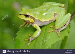 hyla intermedia tree frog amphibian animal animals amphibian stock