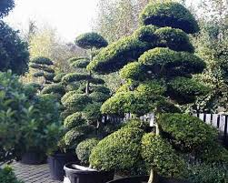 topiary trees topiary topiary trees specialist nursery london uk