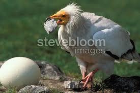 Seeking Vulture Vulture Breaking An Ostrich Egg Kenya
