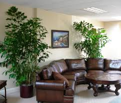 fishtail palms do very well indoors these soften up a masculine