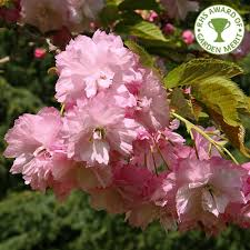 prunus pink perfection buy flowering cherry blossom trees