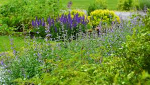 catmint archives the obsessive neurotic gardener