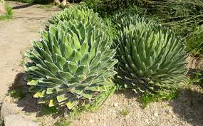 native victorian plants agave victoriae reginae2 jpg