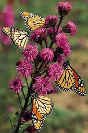 17 best butterfly gardening images on pinterest gardening tips
