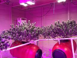 led marijuana grow lights use led grow lights it s about led grow lights icanxplore