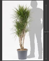 dracaena marginata branched 150cm unique indoor plant house of