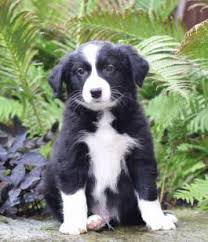 australian shepherd price puppies for sale buckeye puppies
